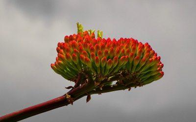 agave-agave-flowering-africa-4790444.jpg