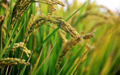 in-rice-field-ear-of-rice-rice-2679153.jpg